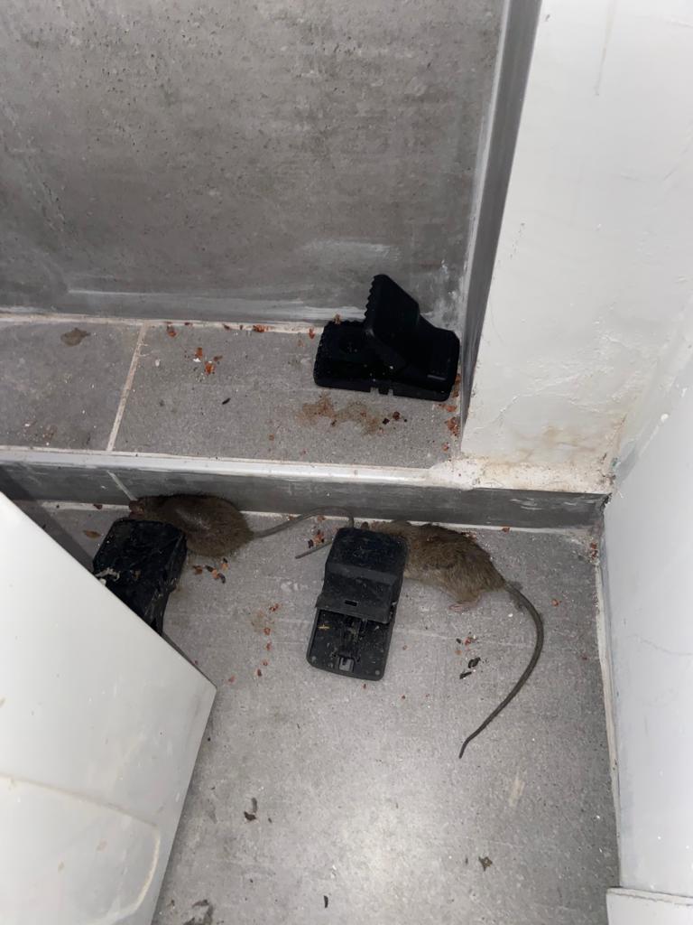 הדברת עכברים בדירה