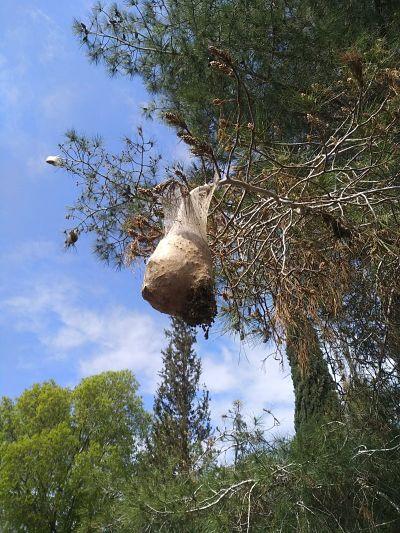 טוואי התהלוכה בעץ אורן